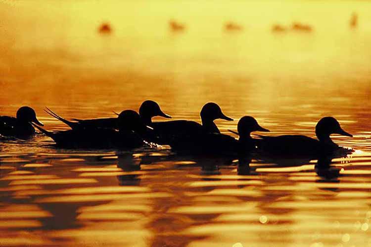 ducks 180 120